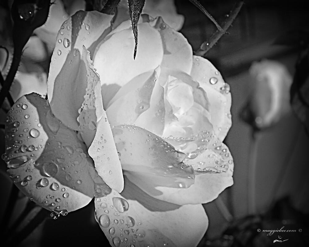 White Iceberg Rose by Maggiebee
