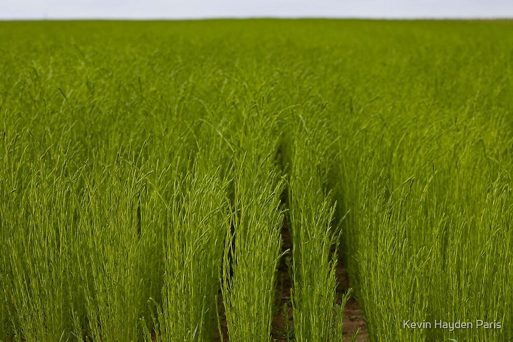 Linen Field by Kevin Hayden