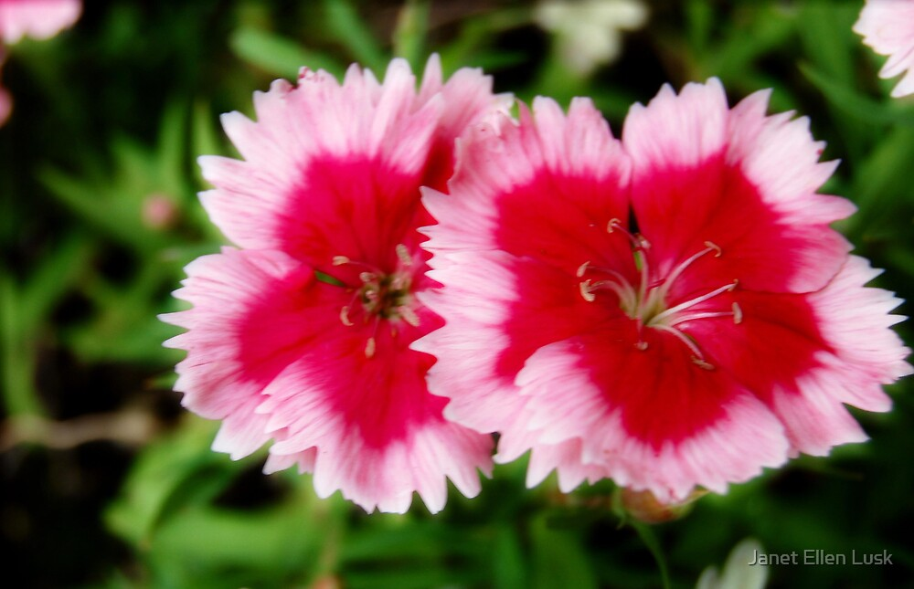 Red and Pink Flowers by Janet Ellen Lusk
