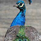 Peacock by tkrosevear