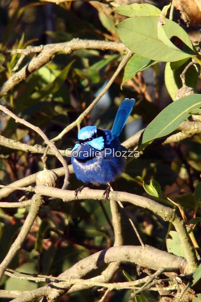 Blue Wren Busselton Western Australia by Coralie Plozza