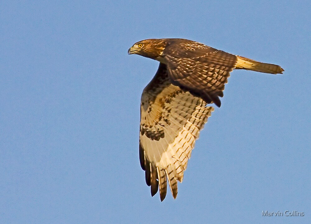 Red Tailed Hawk by Marvin Collins