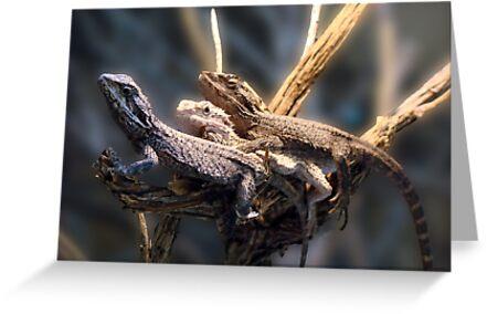 Western Bearded Dragon - Naturaliste Reptile Park by Coralie Plozza