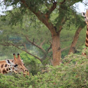 Uganda Murchison Falls National Park Giraffe Thorny Acacia Tree Bush by eickys