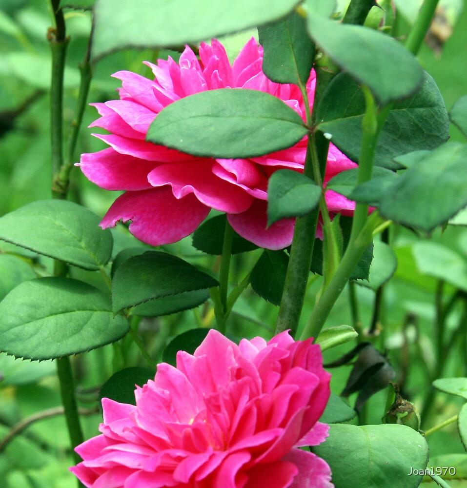 A Friend's Rose by Joan1970