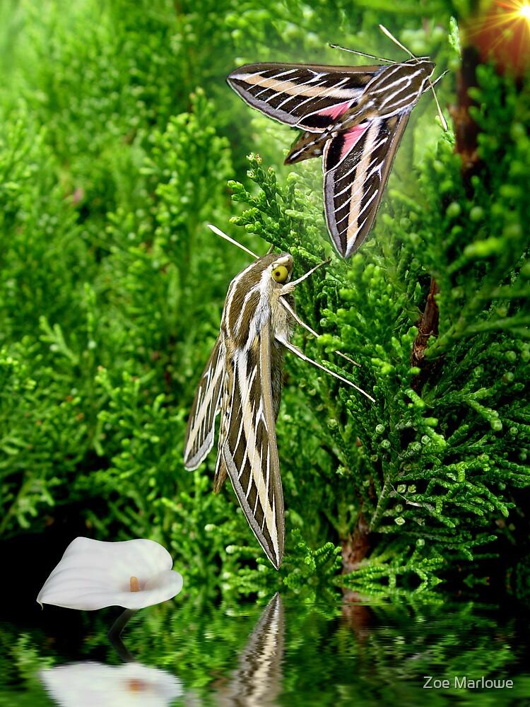 Hummingbird Moths by Zoe Marlowe