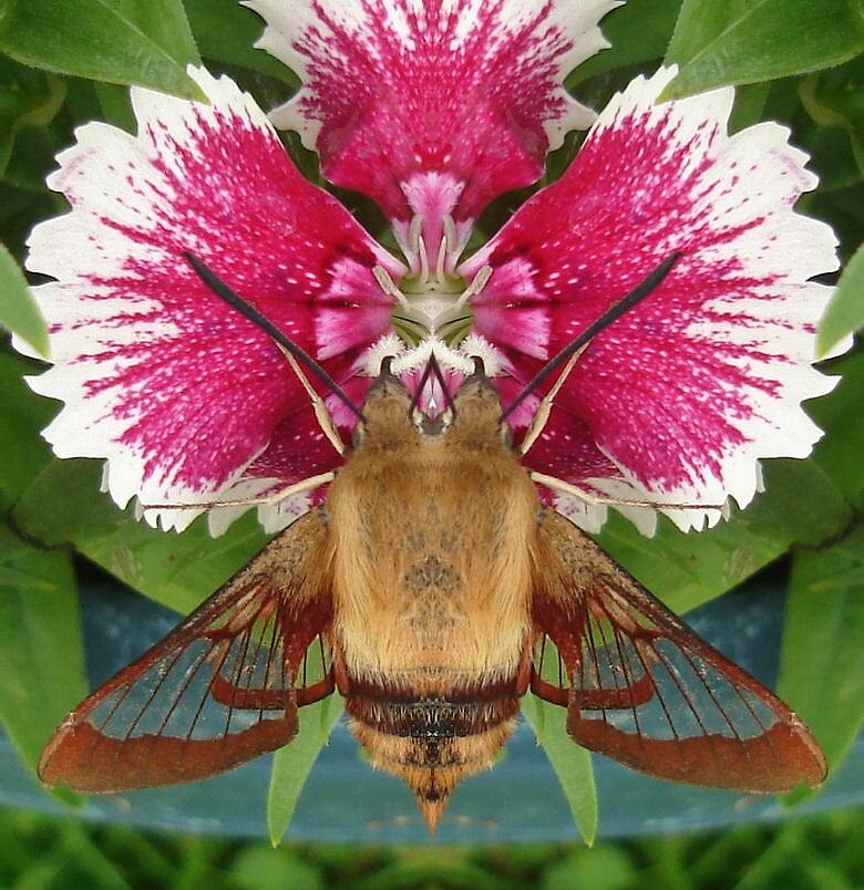 Hummingbird Moth by Doreen