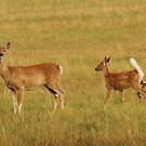Whitetail Doe and Fawn by Alyce Taylor