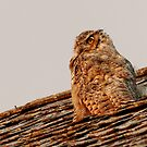 Horned Owl at Sunset by Alyce Taylor