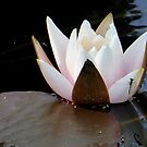 A water lily with a visitor by jchanders