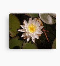 A Beautiful Lily Pad Water Flower Canvas Print