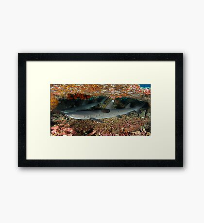 White Tip Reefies Framed Print
