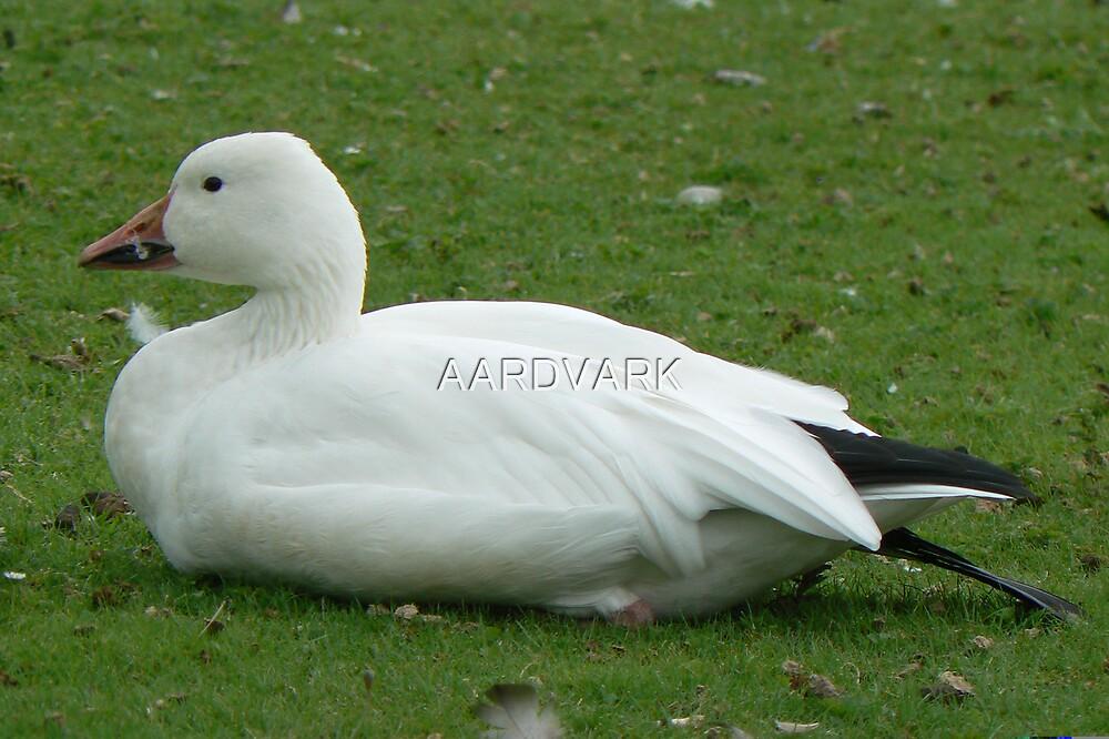 A Lesser Snow Goose by AARDVARK