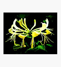 Honeysuckle Photographic Print