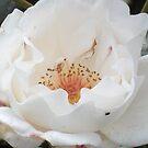 Tender White Rose by Riihele