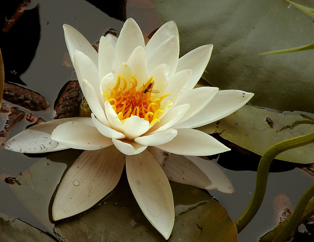 Water lily  by claudiu