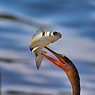 Anhinga Catches Fish by TJ Baccari Photography