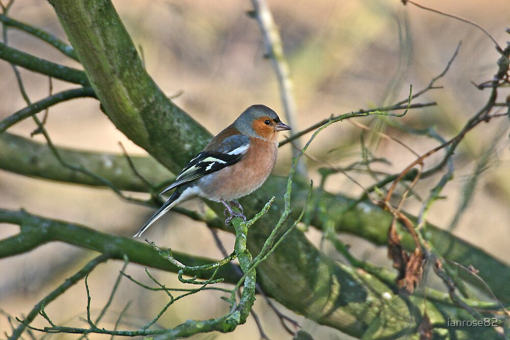 Chaffinch by ianrose82