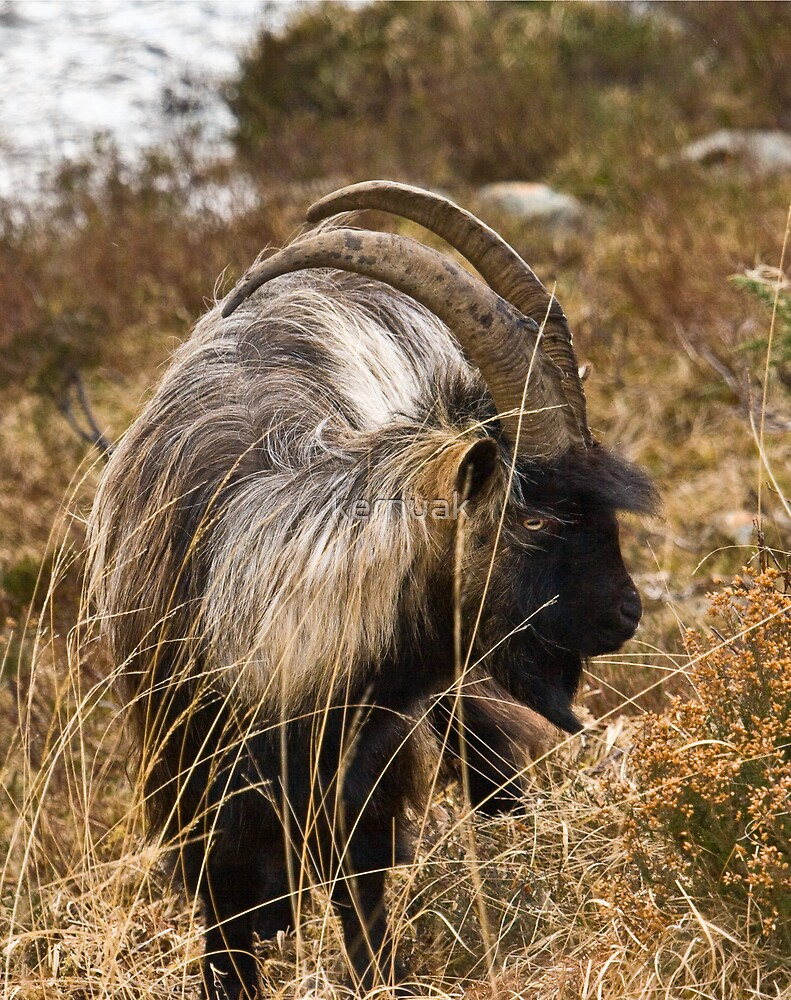 Mountain Goat by kernuak