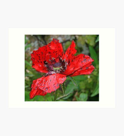 Speckled Poppy Art Print