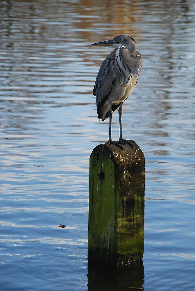Grey Heron by Jane Hansen