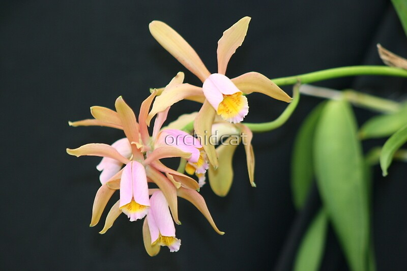Delicate cattleya orchds by orchidcat