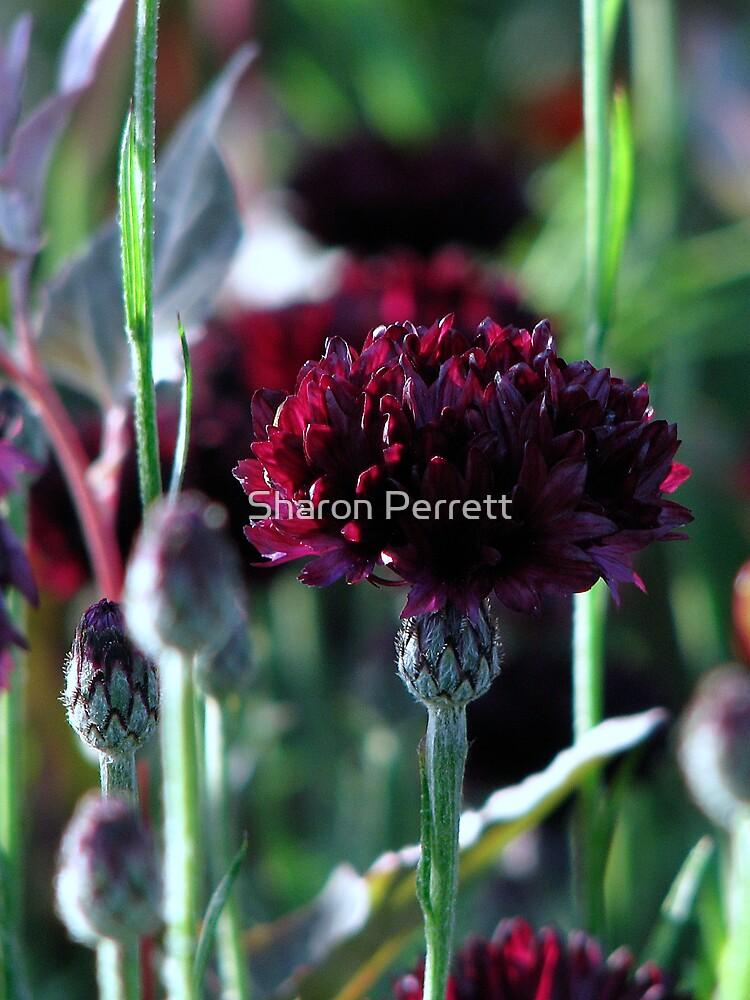 Roundabout Magic - Cornflower 1 by Sharon Perrett