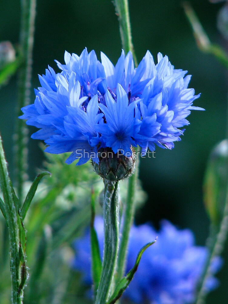 Roundabout Magic - Cornflower 2 by Sharon Perrett