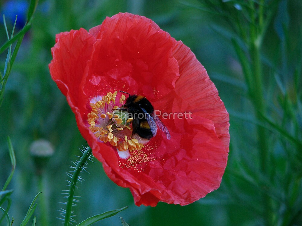 Roundabout Magic - Poppy 1 by Sharon Perrett