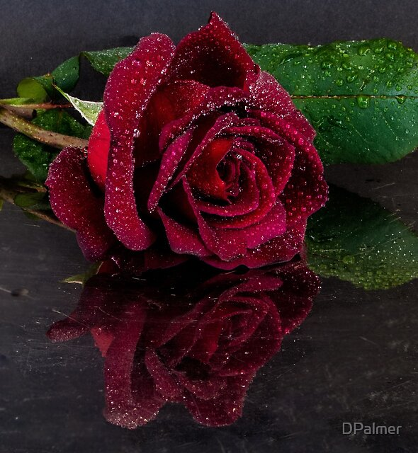 Dark Red Rose with reflection by DPalmer