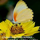 COMMON DOTTED BORDER Mylothis agathina agathina by Magriet Meintjes