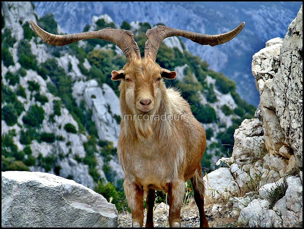 A Goat of the Luberon Mountains. by Malcolm Chant