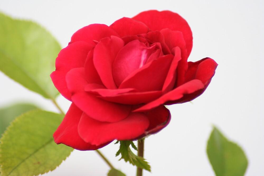 Single Rose by Lori Walton