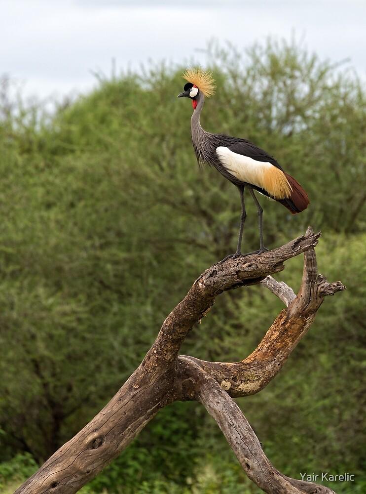 Grey Crowned Crane (Balearica regulorum) by Yair Karelic