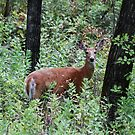 Whitetailed Doe by Alyce Taylor