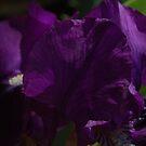 Deep Purple Iris by dragonsnare