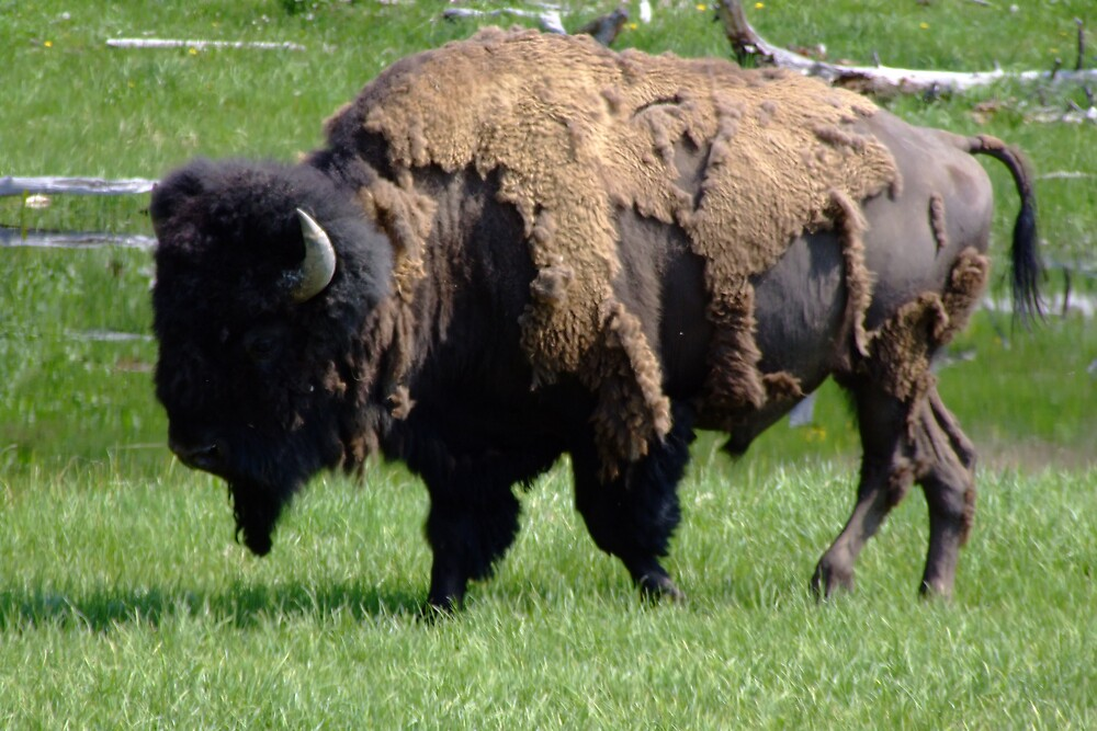 Bison Needs a New Winter Coat by Patricia Shriver
