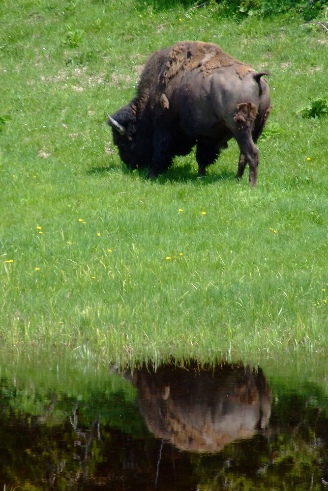 Reflected Bison by Patricia Shriver