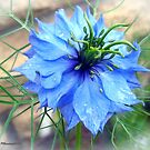 Nigella Damascena - Love in a Mist by trish725