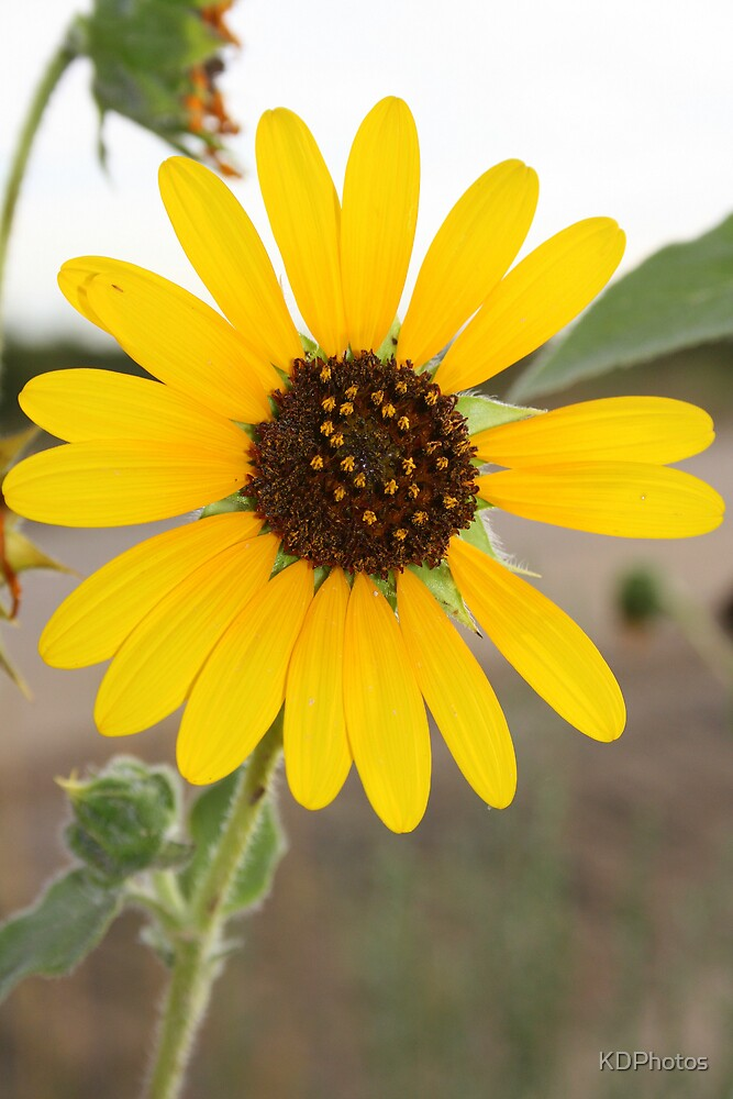 Yellow wildflower by KDPhotos