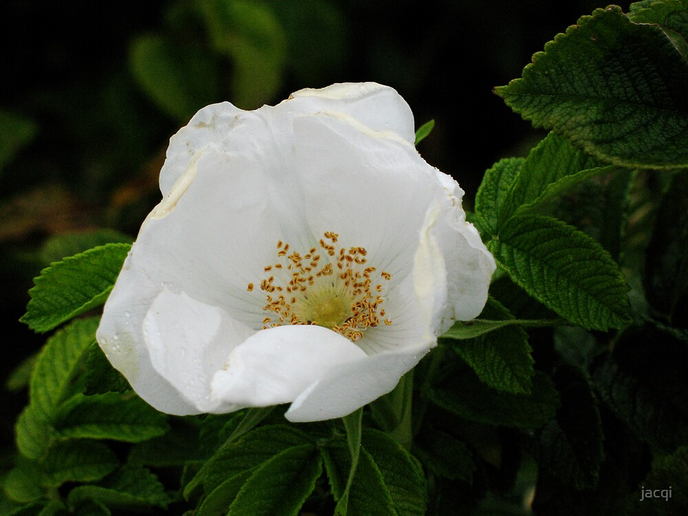 White Rugosa Rose by jacqi