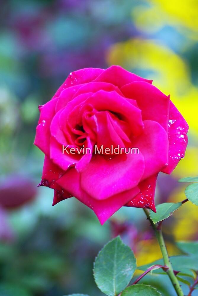 simple rose by Kevin Meldrum