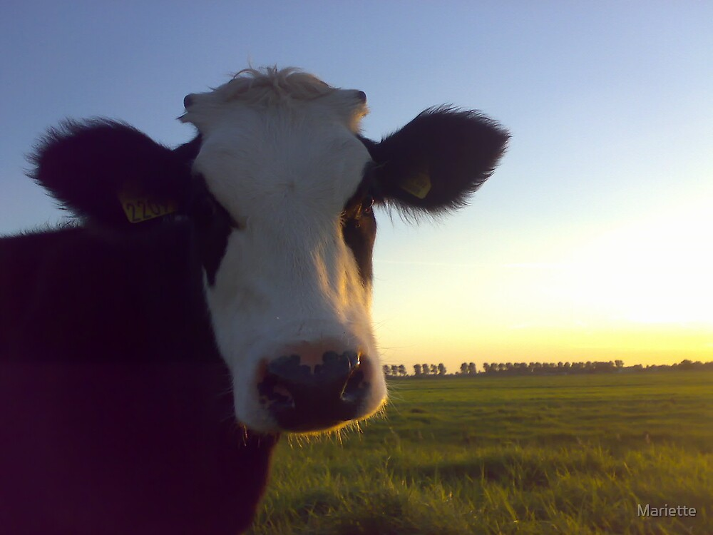 Curious cow by Mariette