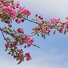 Crab Apple Blossoms Blowing in the Breeze by Gerda Grice