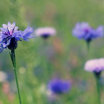 Wildflower Meadow by gracethescene