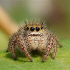 """Jumping Spider """"Too Cute"""" by main1"""