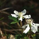 Wild Dewberry Blossoms by Leighton Jack