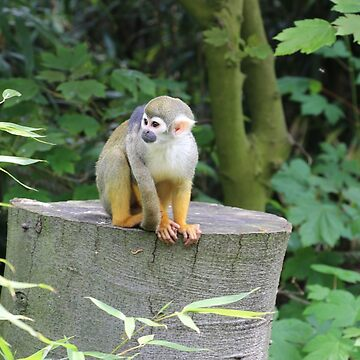 Squirrel Monkey black-capped squirrel monkey by eickys