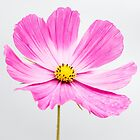 Cosmos pink by JEZ22