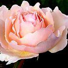 Remembering the rose garden at Scheveningen by jchanders